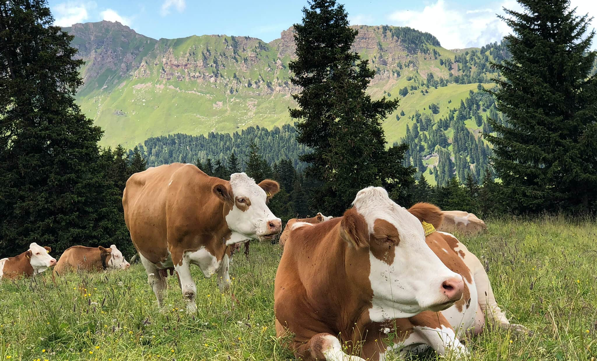 Cows on farmland, along with agriculture everywhere, suffer from  sinkholes that are common in karst areas.