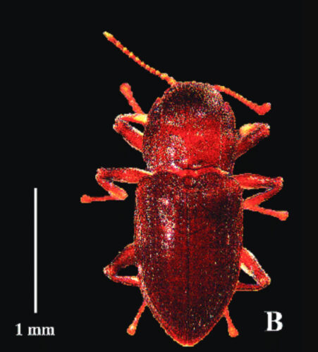 William Coleman's Comal Springs Riffle Beetle