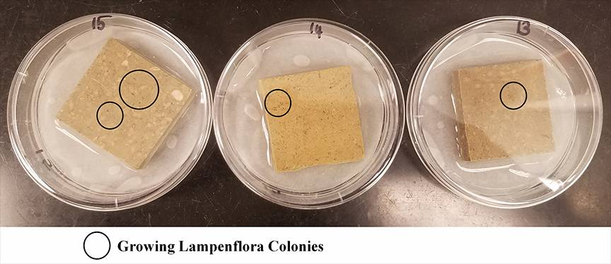 Calcium carbonate tiles tested for lampenflora after treatment. Photo courtesy: Eshani Hettiarachchi.